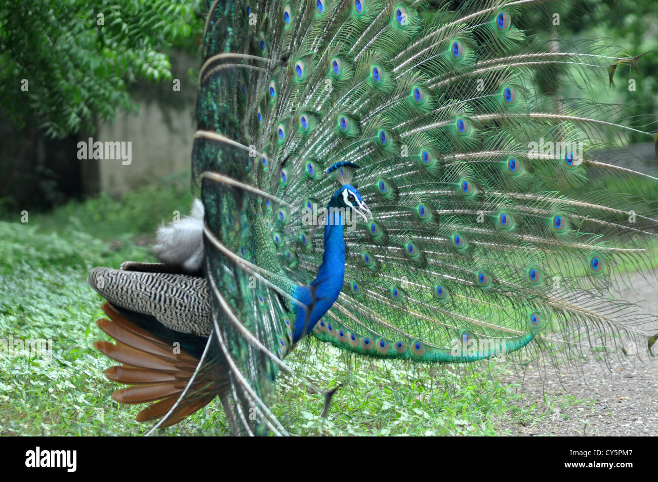 peacock dance stock photos u0026 peacock dance stock images alamy