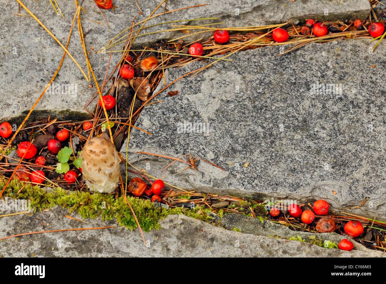 Fallen Mountain Ash Berries Collected On Patio Stones, Greater Sudbury,  Ontario, Canada