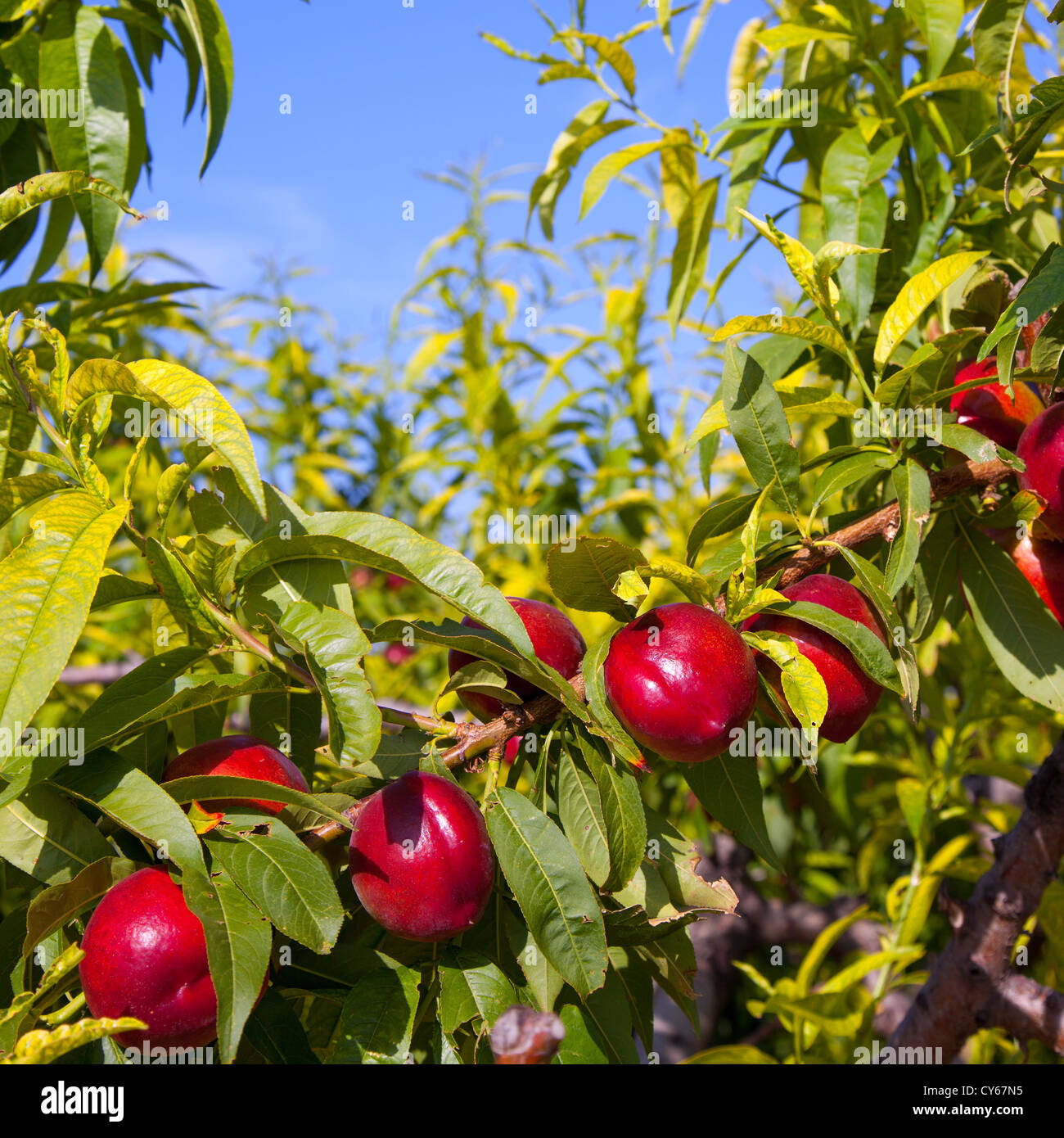 nectarine fruits on a tree with red color and green fresh leaves ...