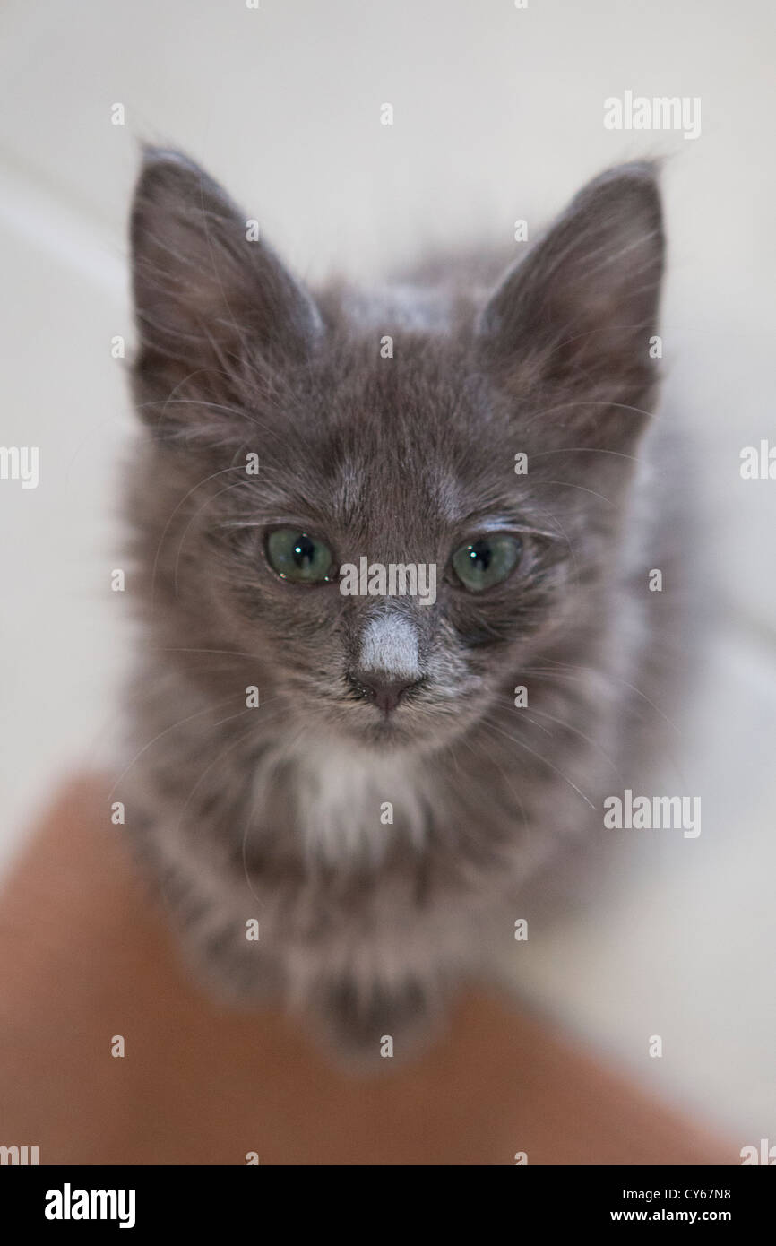 Russian blue kitten with bright green eyes Stock Royalty