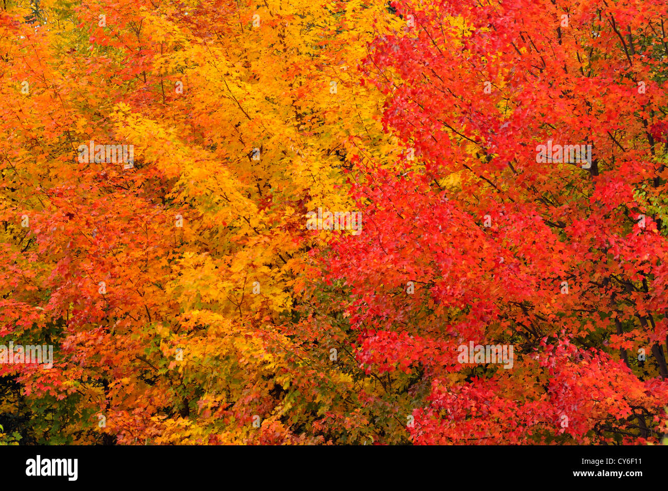 Autumn Colour In A Forest Of Mature Sugar Maple Trees