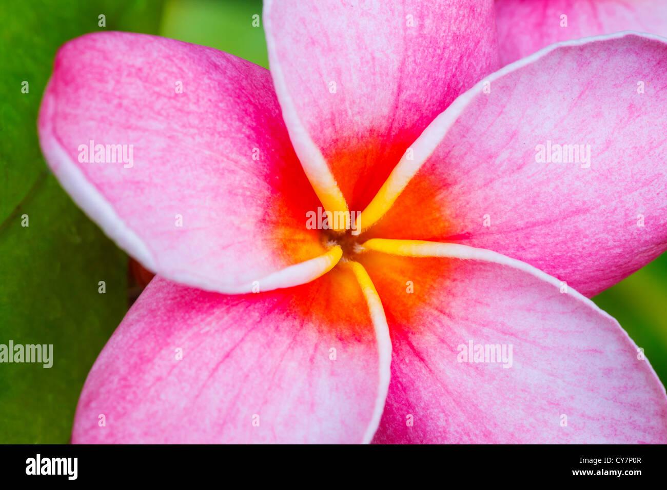 Pink plumeria flower stock photo 51187383 alamy pink plumeria flower mightylinksfo Choice Image