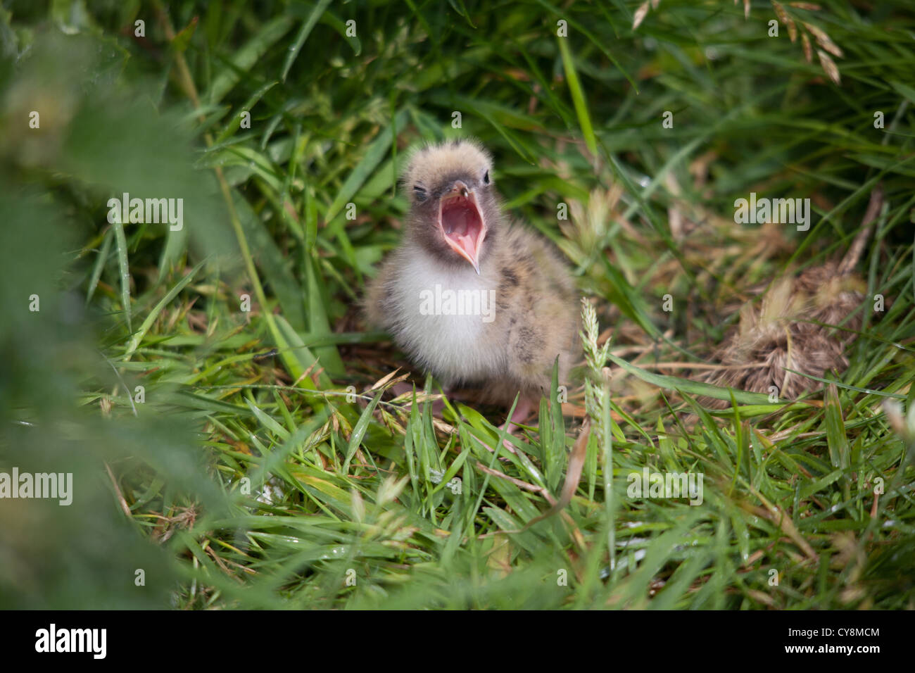 gmlh12072925 sterna paradisaea Baby arctic tern in ground ...