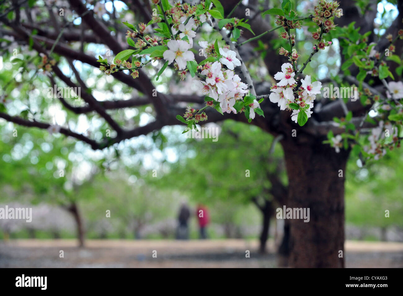 almond trees blossom in spring season stock photo royalty free