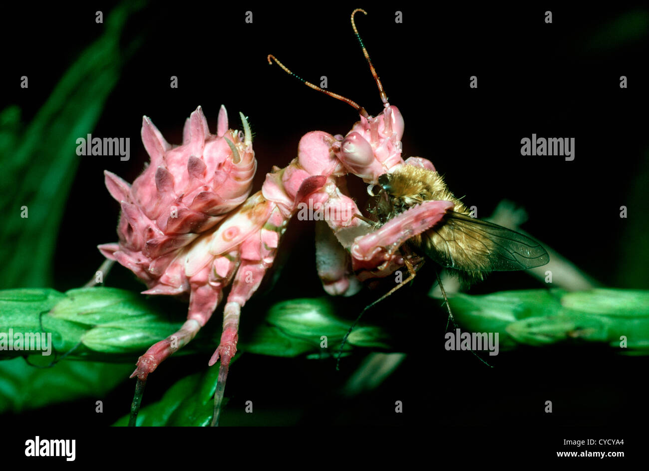 Mantis mantodea on pink flower stock photos mantis mantodea on a flower mantis nymph pseudocreobotra ocellata feeding on a bee fly in tropical dry dhlflorist Image collections