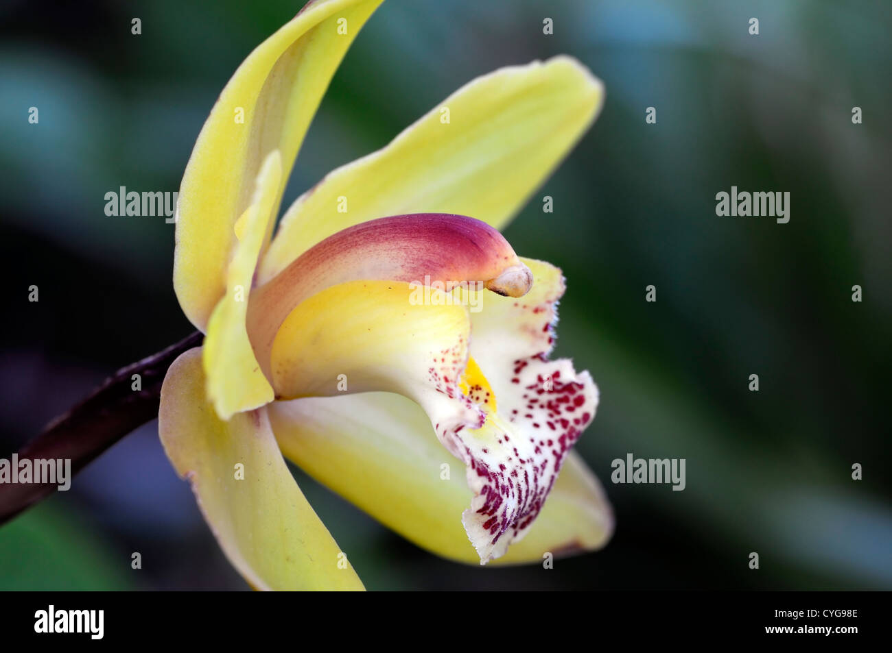cymbidium hybrid pink red yellow orchid flowers exotic asian, Beautiful flower