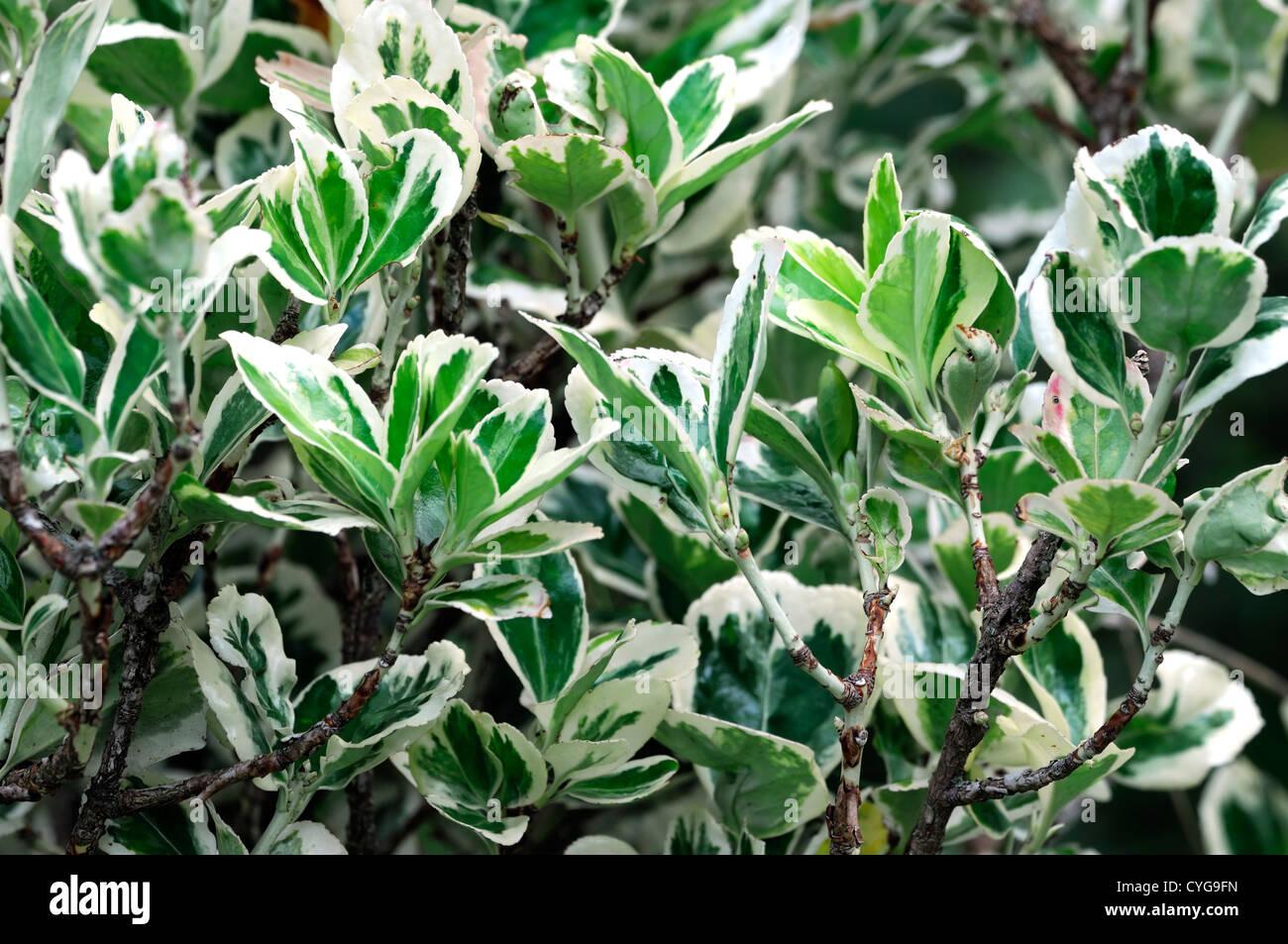 "variegated leaves Sasaella masamuneana ""albostrlata"", dwarf variegated bamboo, 3, 7, 62  euonymus microphylla variegata, dwarf variegated boxleaf, 8, 12, 652."