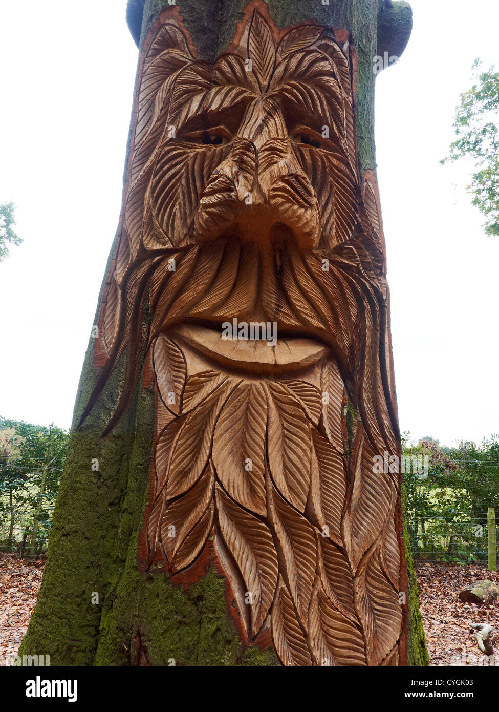 Old man face carved in tree delamere forest cheshire uk