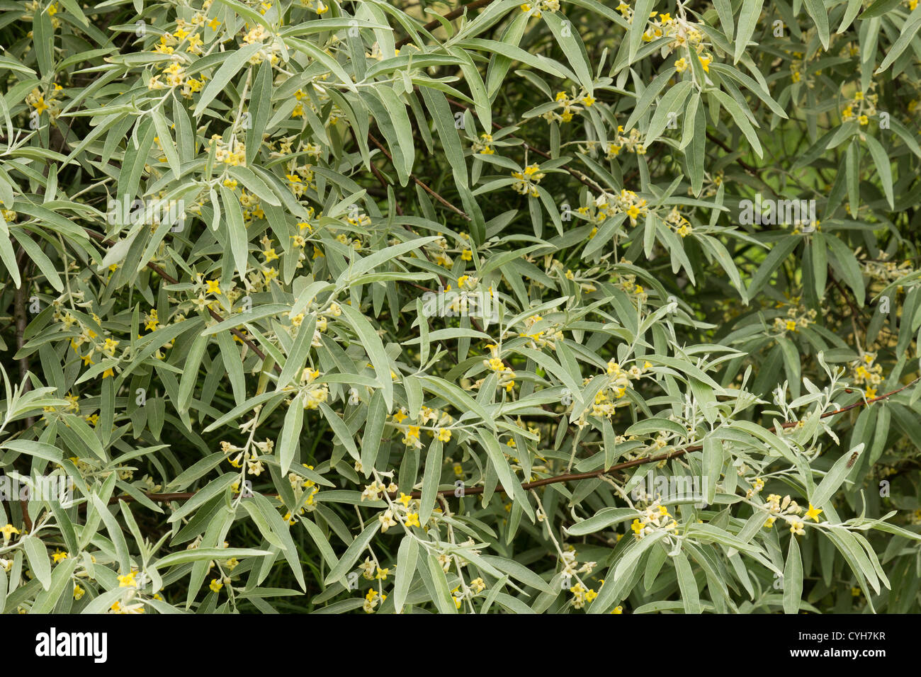Group Russian Olive Elaeagnus Angustifolia 29