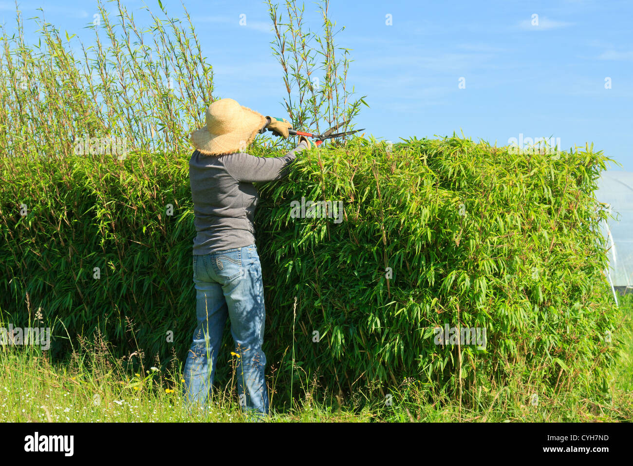 trimming of a hedge of bamboo fargesia by a gardener taille d 39 une stock photo royalty free. Black Bedroom Furniture Sets. Home Design Ideas