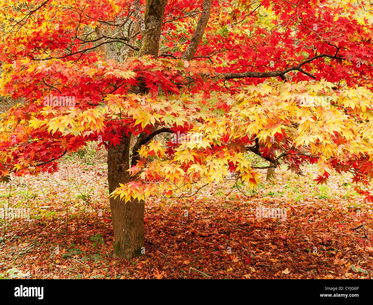 Acer tree and leaves common name maple in full autumn colour in stock photo royalty free - Decorative trees with red leaves amazing contrasts ...