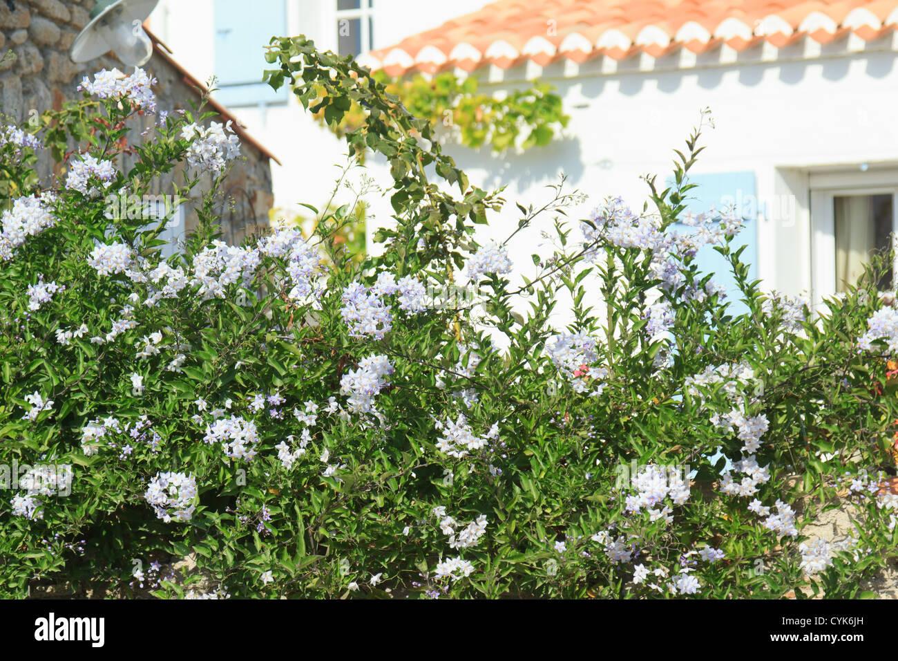jasmine nightshade solanum jasminoides solanum laxum france stock photo 51438761 alamy. Black Bedroom Furniture Sets. Home Design Ideas