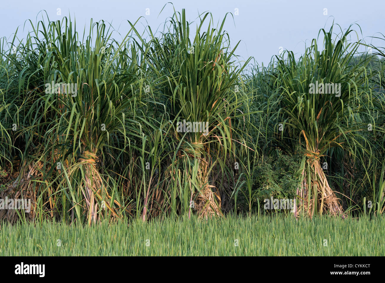 Saccharum officinarum. Sugar cane plantation in the Indian ...