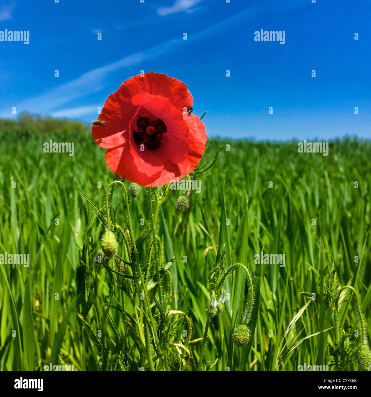 single poppy flower in a field of wheat stock photo royalty free