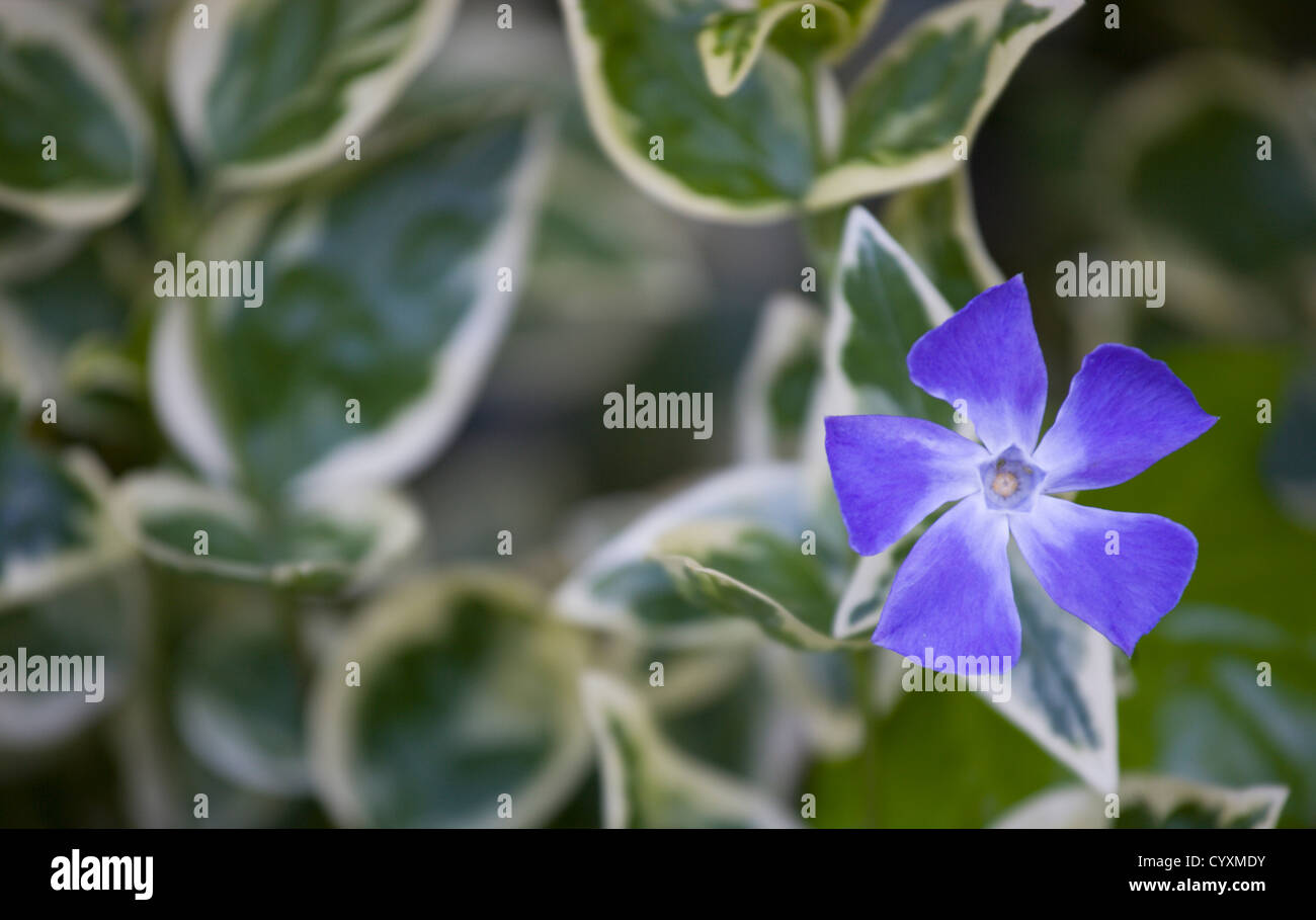 Common Purple Garden Flowers plants, flowers, vinca minor 'variegata', variegated common stock