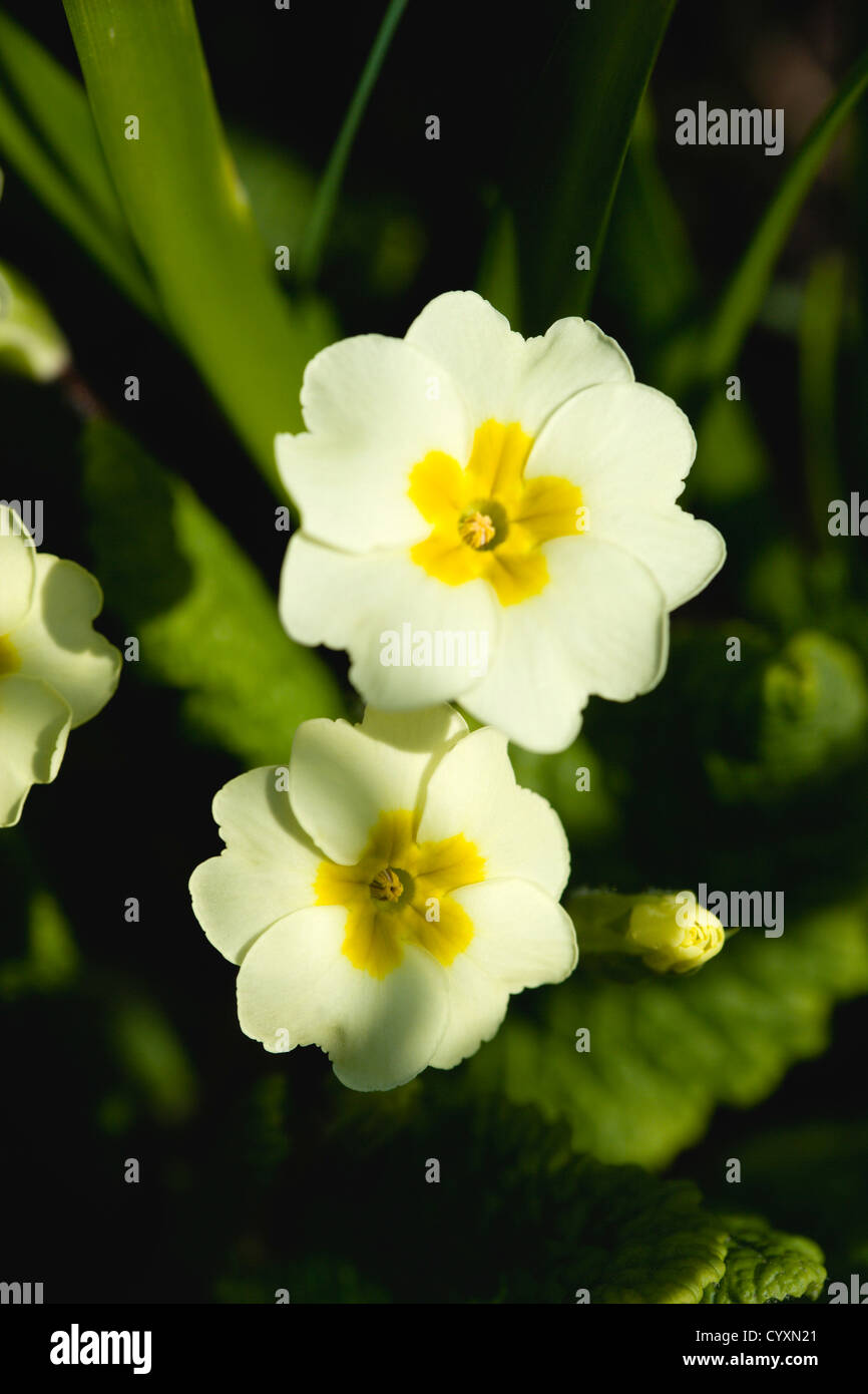 Plants Flowers Primula Vulgaris Lemon Yellow Flowers Of The