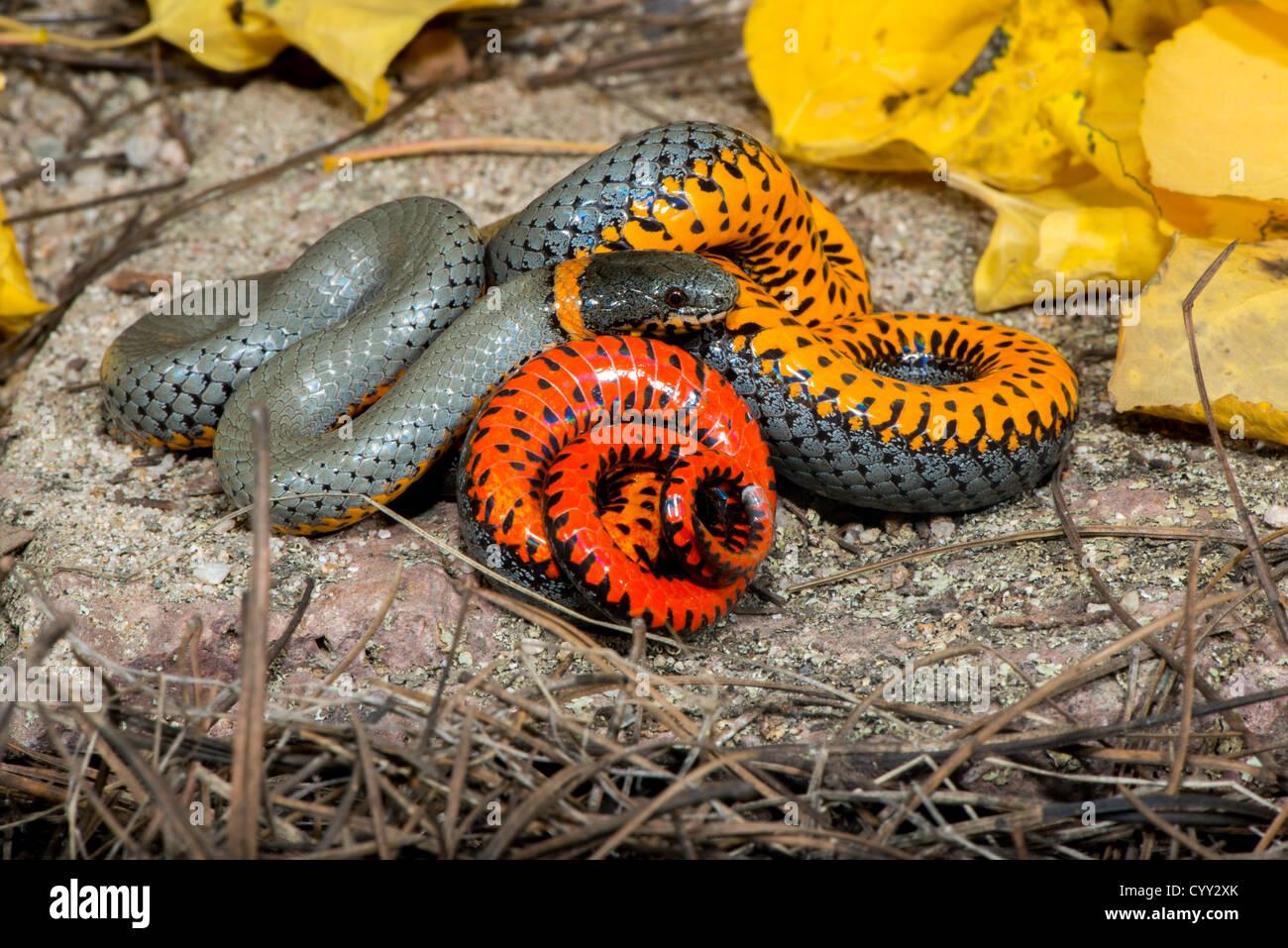 Arizona cochise county cochise - Ring Necked Snake Diadophis Punctatus Chiricahua Mountains Cochise County Arizona United States 19 October Adult Colubridae