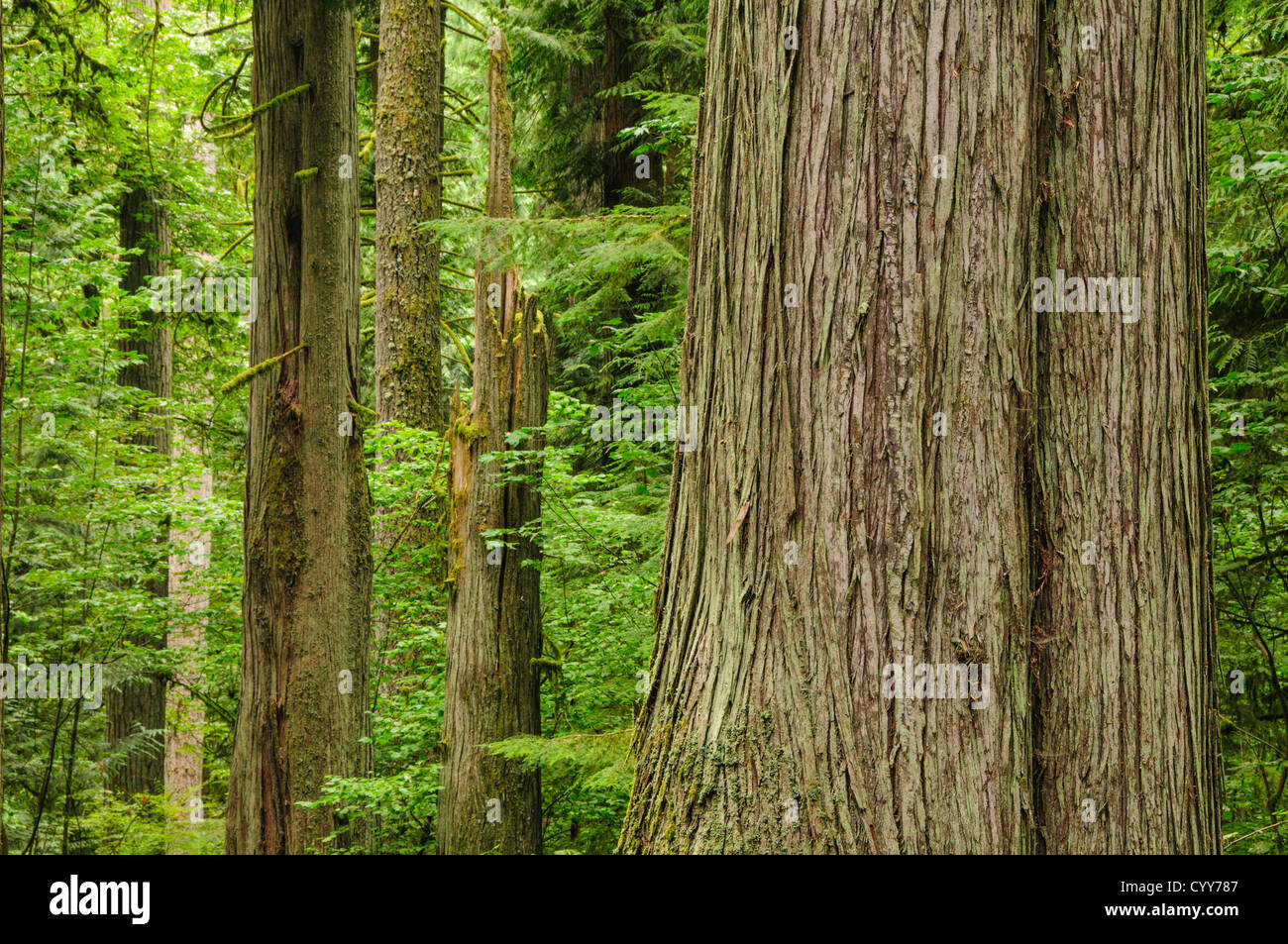 Red Cedar Forest ~ Western red cedar tree trunk and forest at old growth