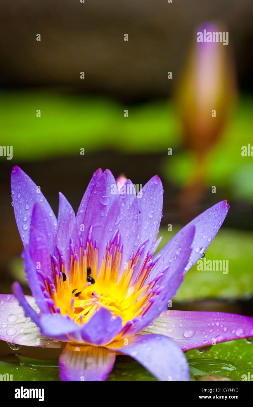 A closeup shot of beautiful lotus flowers or waterlilies with lush a closeup shot of beautiful lotus flowers or waterlilies with lush green leaves in a pond izmirmasajfo Images