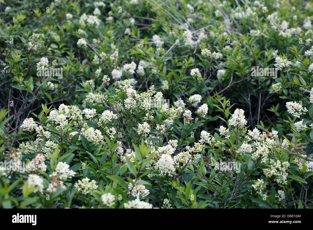 wild privet ligustrum vulgare in flower uk stock photo. Black Bedroom Furniture Sets. Home Design Ideas