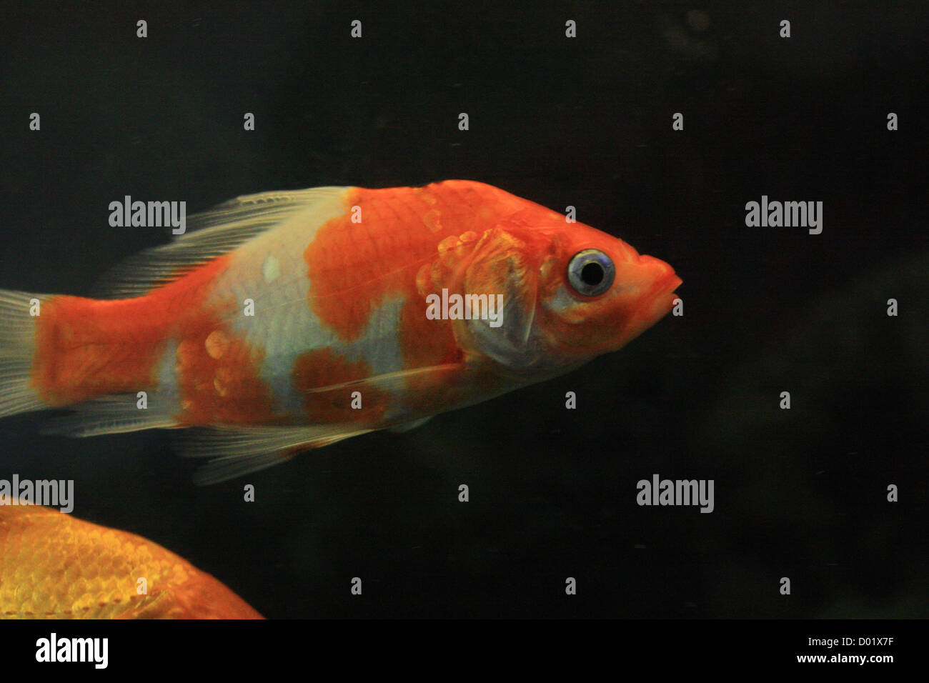 Freshwater aquarium fish buy - Freshwater Fish Aquarium Fish Tropical Fish Pictures Of Fish Fish Tanks