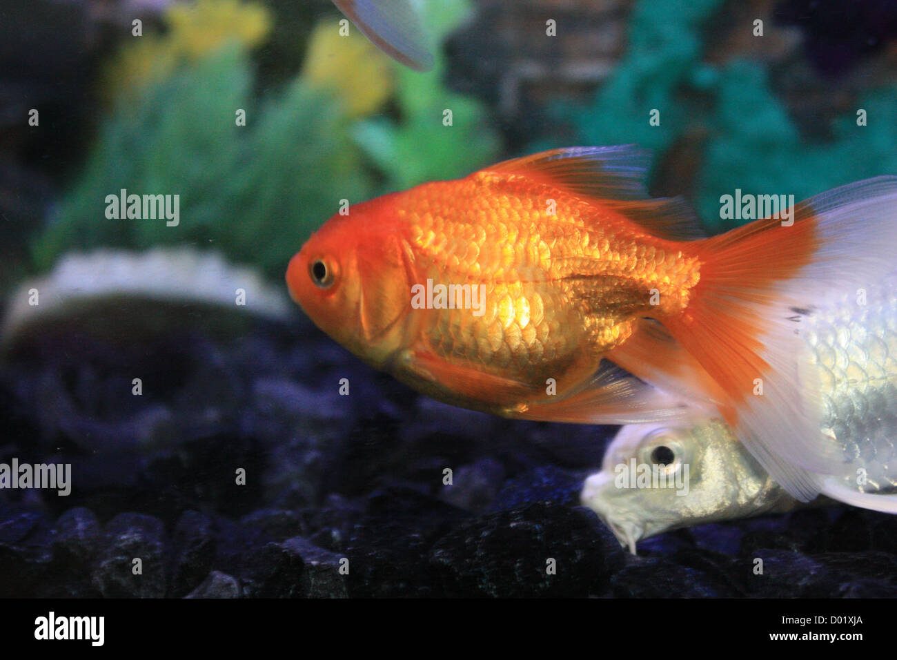 Freshwater aquarium fish mail order - Freshwater Fish Aquarium Fish Tropical Fish Pictures Of Fish Fish Tanks Fish For Sale All About Fish Salt Water Fish Che