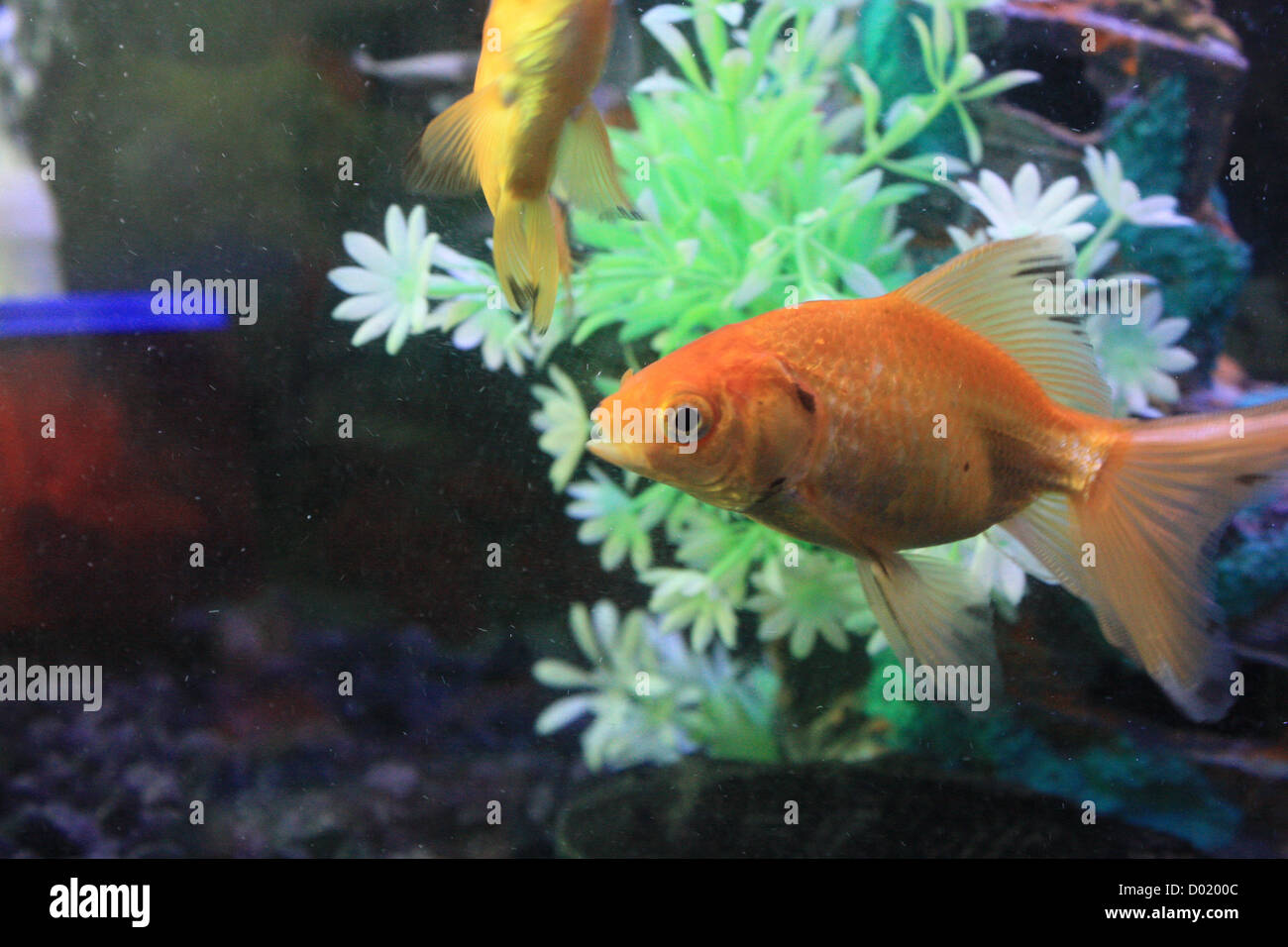 Freshwater aquarium fish buy - Freshwater Fish Aquarium Fish Tropical Fish Pictures Of Fish Fish Tanks Fish For Sale All About Fish Salt Water Fish Che