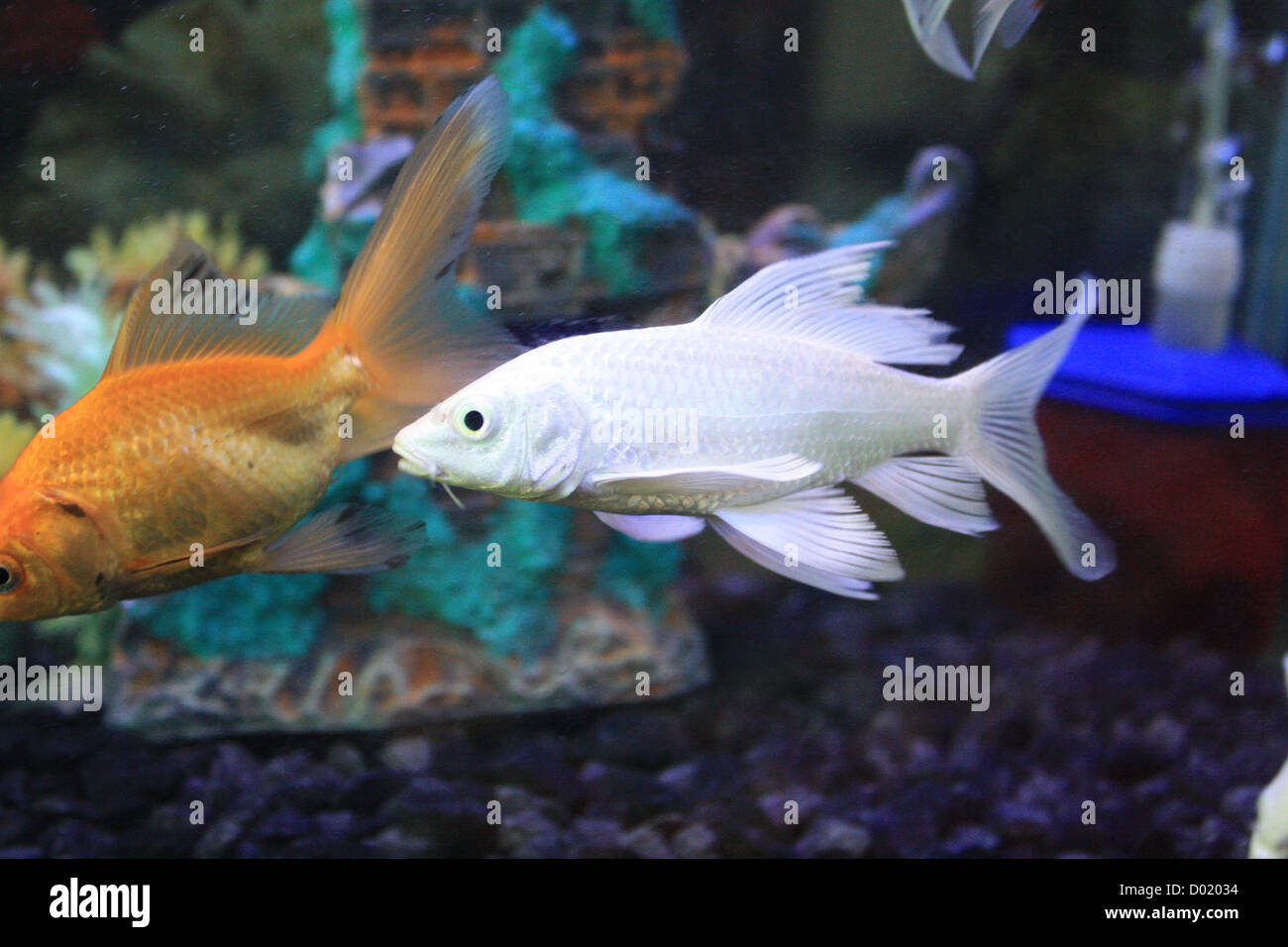 Freshwater fish for aquarium in india - Freshwater Fish Aquarium Fish Tropical Fish Pictures Of Fish Fish Tanks Fish For Sale All About Fish Salt Water Fish Che