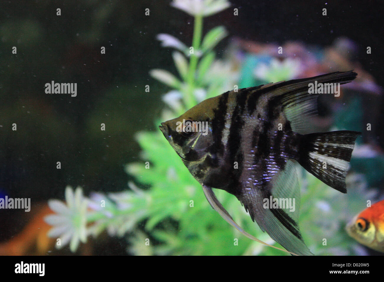 Freshwater aquarium fish games - Stock Photo Freshwater Fish Aquarium Fish Tropical Fish Pictures Of Fish Fish Tanks Fish For Sale All About Fish Salt Water Fish Che