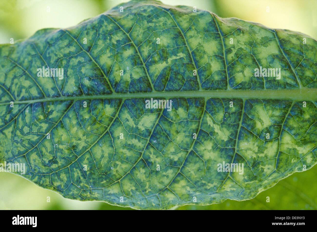 tobacco mosaic virus Tobacco mosaic virus, tmv (rougier j, inra) tobacco mosaic virus on  tomato mosaic due to tmv on a tomato tobacco mosaic virus, tmv (rougier j ,.