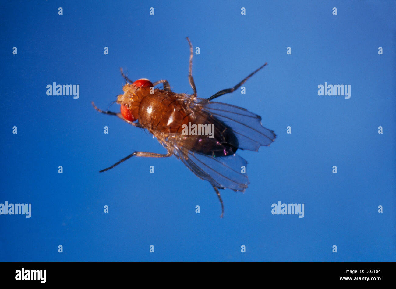 d melanogaster fruit fly report Drosophila melanogaster is an important model organism that can be used as a   drosophila melanogaster offers many advantages for experimental study and  has  in one of the first papers in this field, he reported on the discovery of a.
