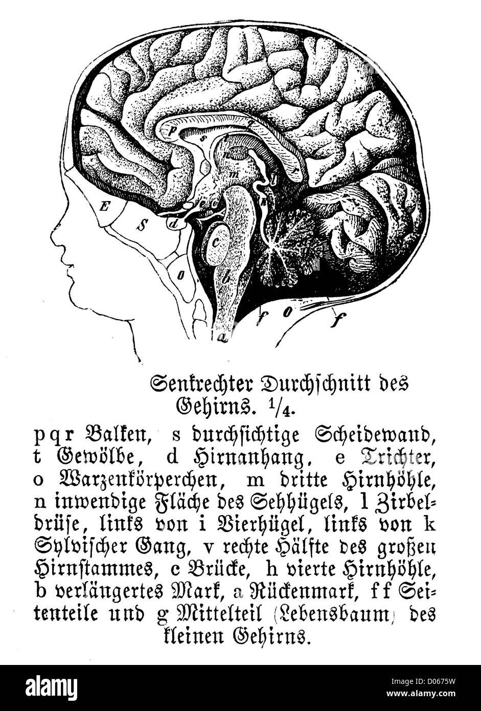 Erfreut Externe Hals Anatomie Ideen - Physiologie Von Menschlichen ...