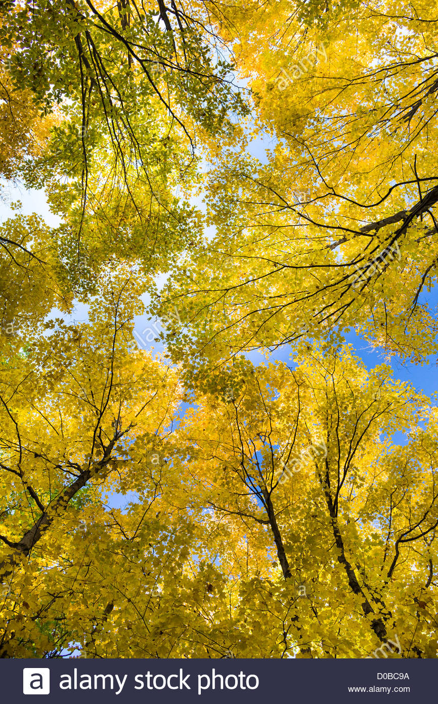 Carolinian forest canopy maple trees in autumn in Rouge National Urban Park an urban wilderness inside Toronto Ontario Canada & Carolinian forest canopy maple trees in autumn in Rouge National ...