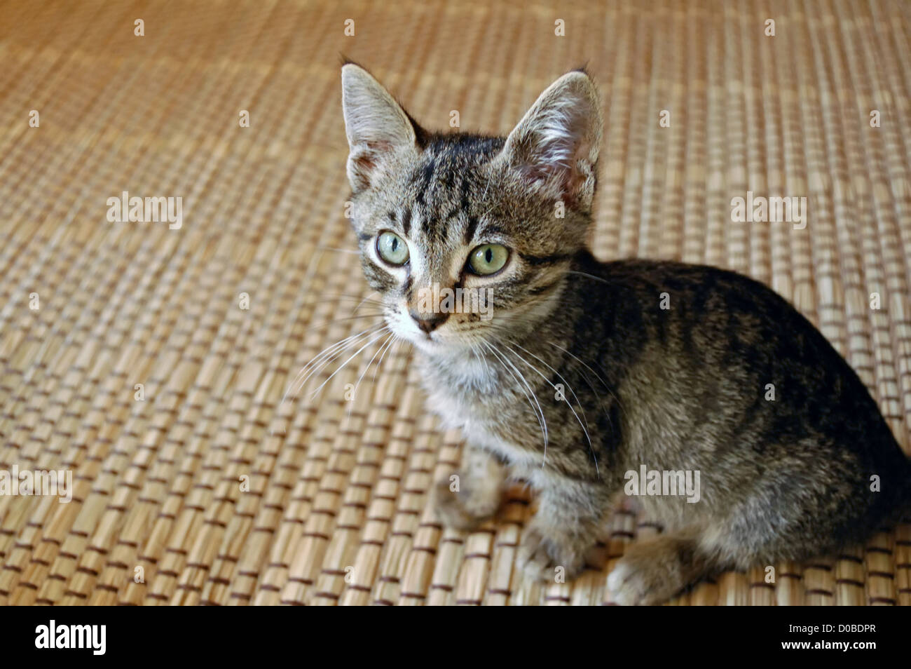cute gray baby kitten with green eyes domestic animal
