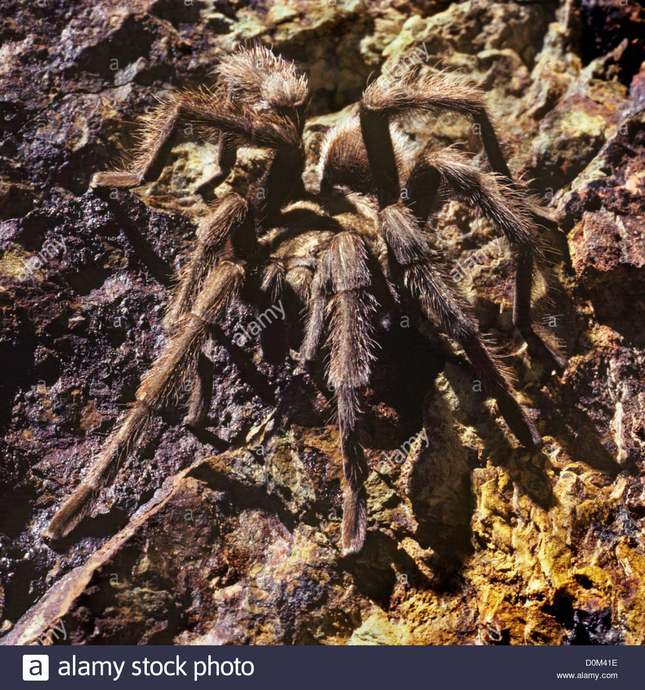 A Desert Tarantula Aphonopelma Chalcodes In El Paso Mountains - El paso california