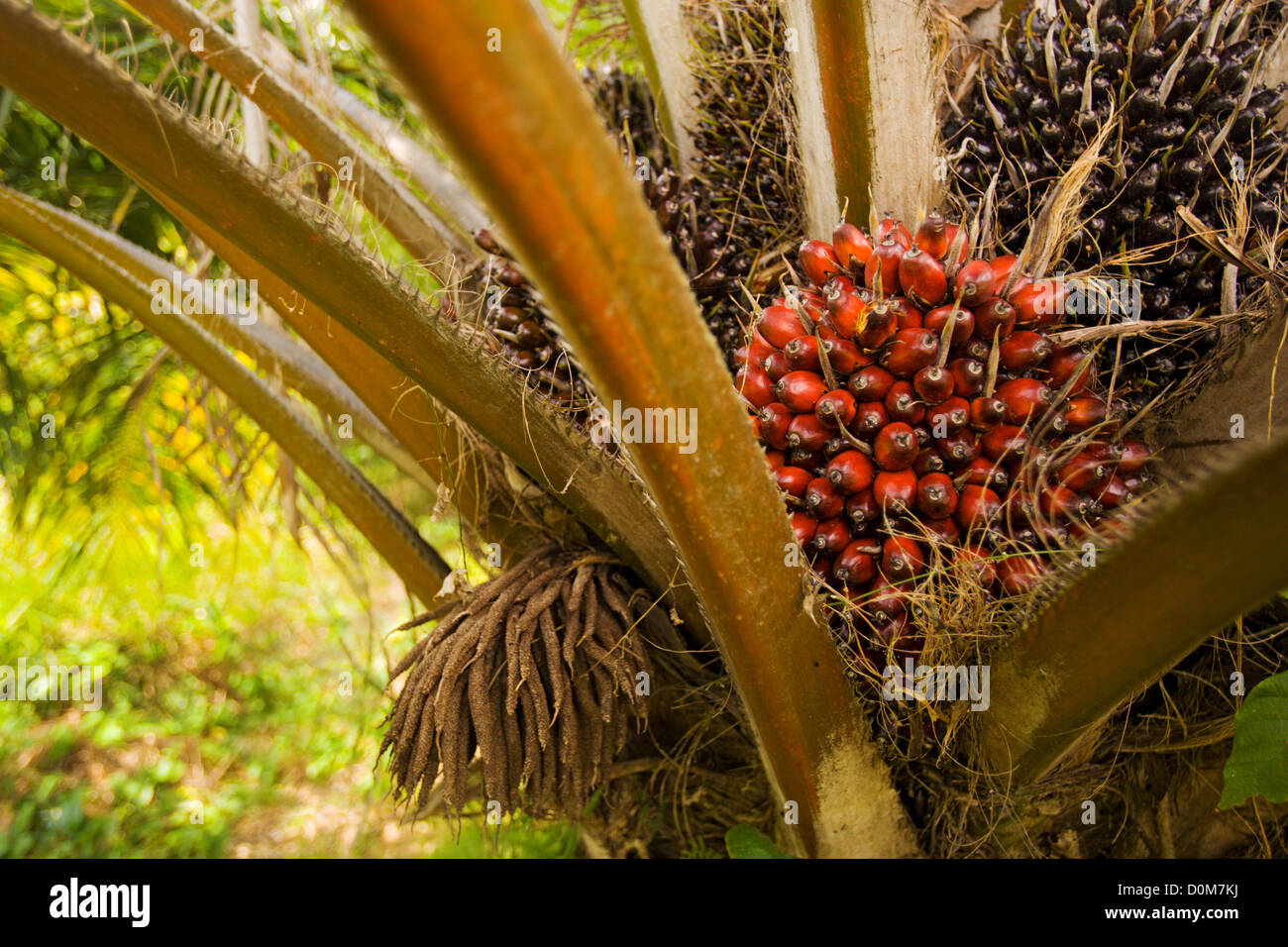 Ripe palm oil fruit or nuts on tree in African Palm oil ...