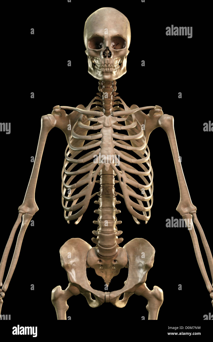 front view of the bones of the upper body and torso stock photo, Skeleton