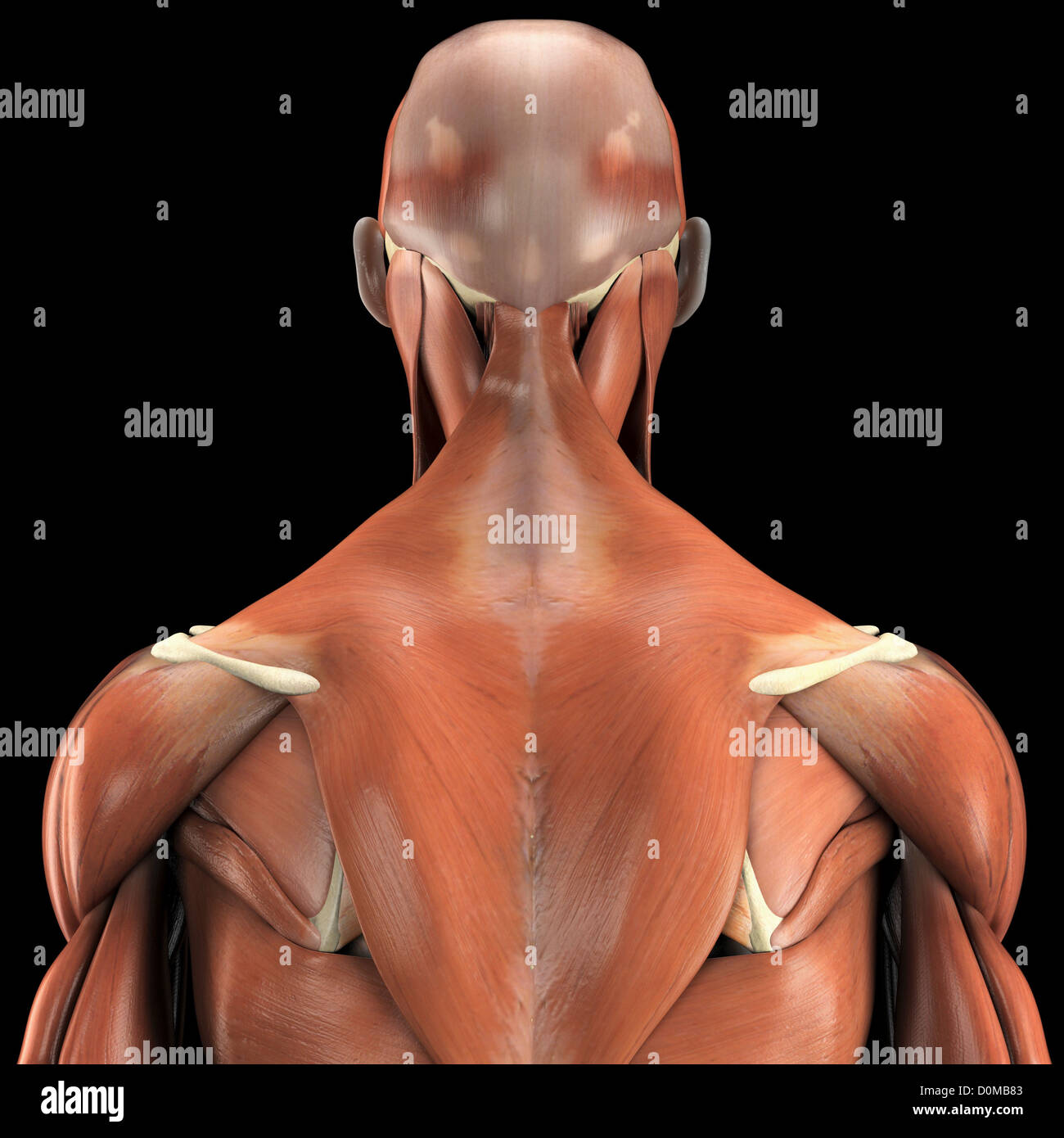 a human model showing the deltoid and trapezius as well as muscles, Muscles