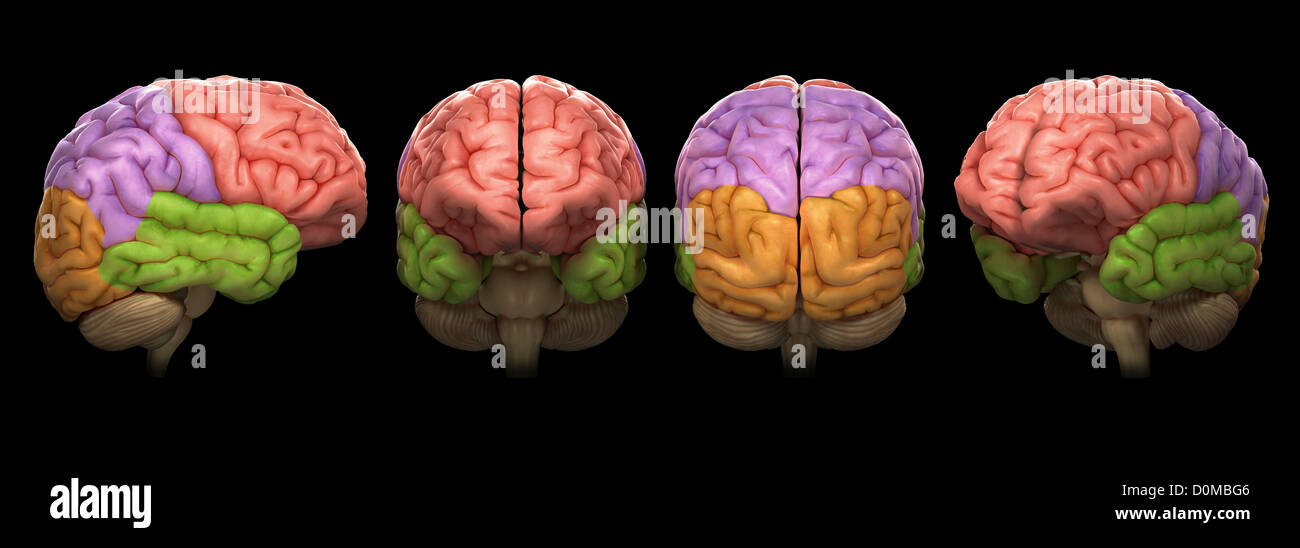 the description of the four major lobes of the human brain Read a neurosurgeon's description and overview of the different components   in the human brain, glial cells outnumber neurons by about 50 to one  the  frontal lobes are the largest of the four lobes responsible for many different  functions.