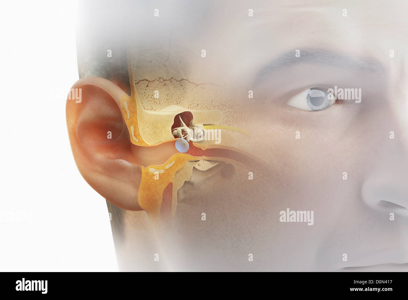 Human Ear Canal Www Pixshark Com Images Galleries With