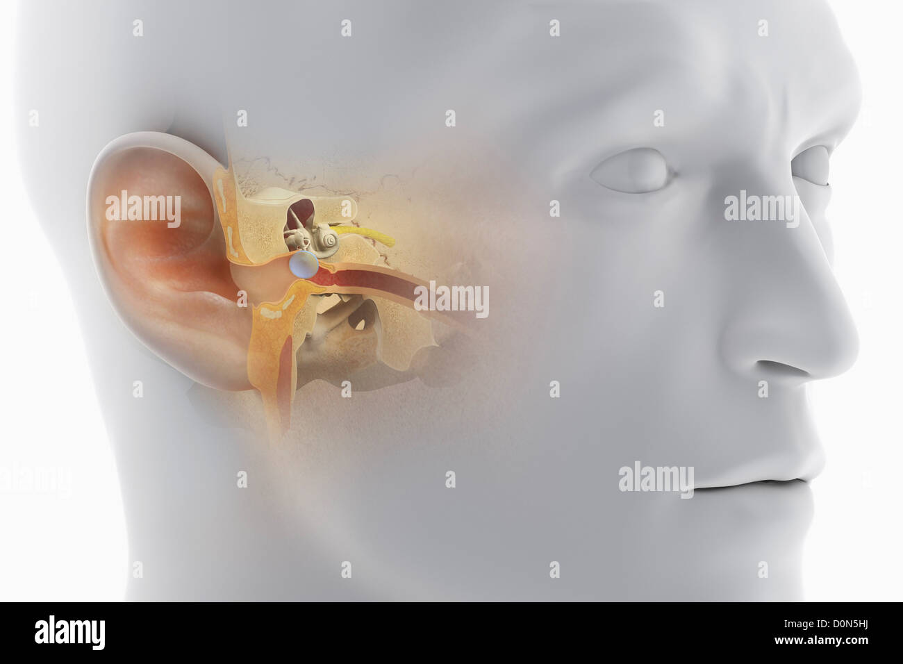 Human inner ear anatomy