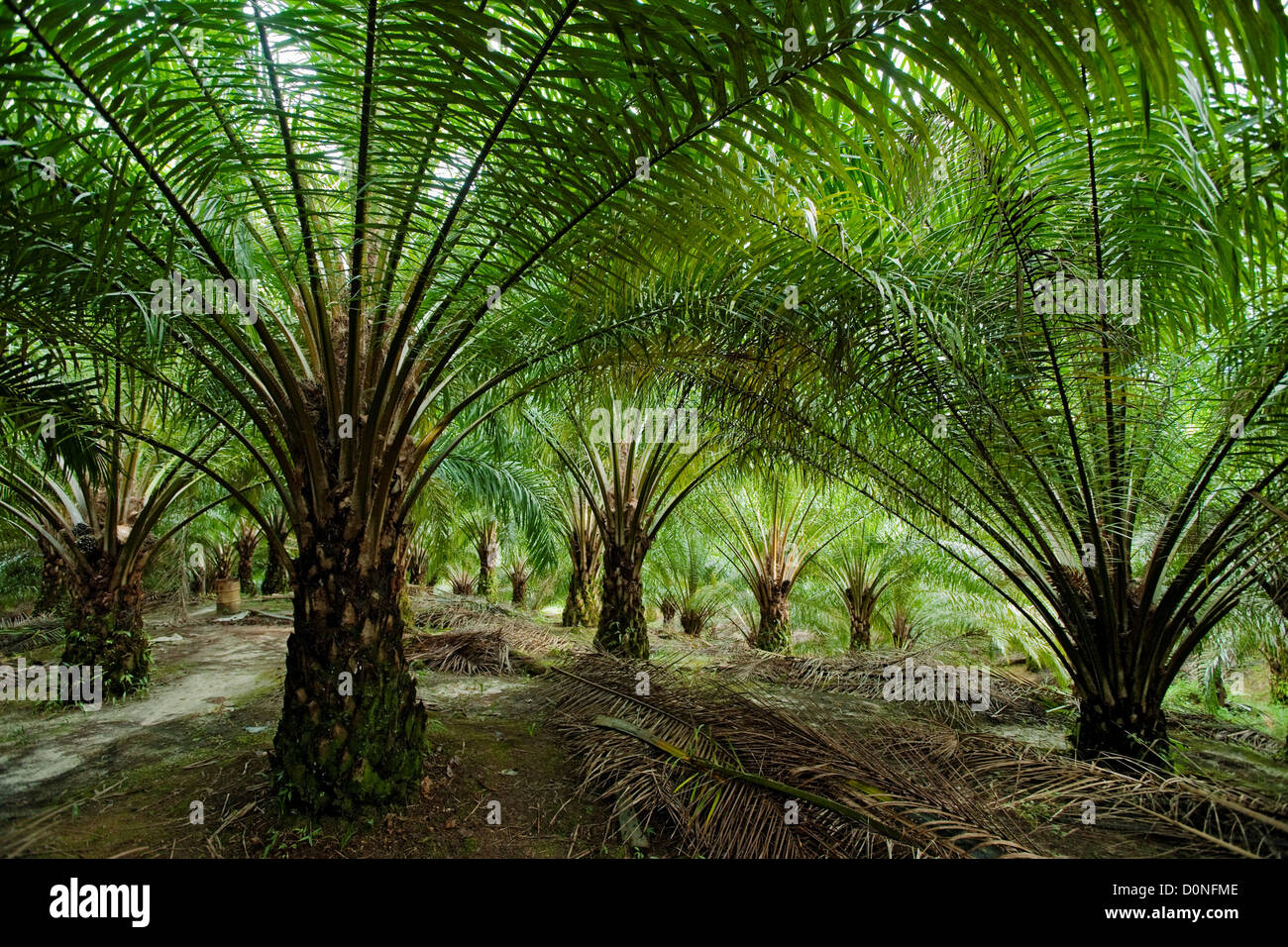 Oil palm trees in plantation in Malaysia. Oil palms are ...