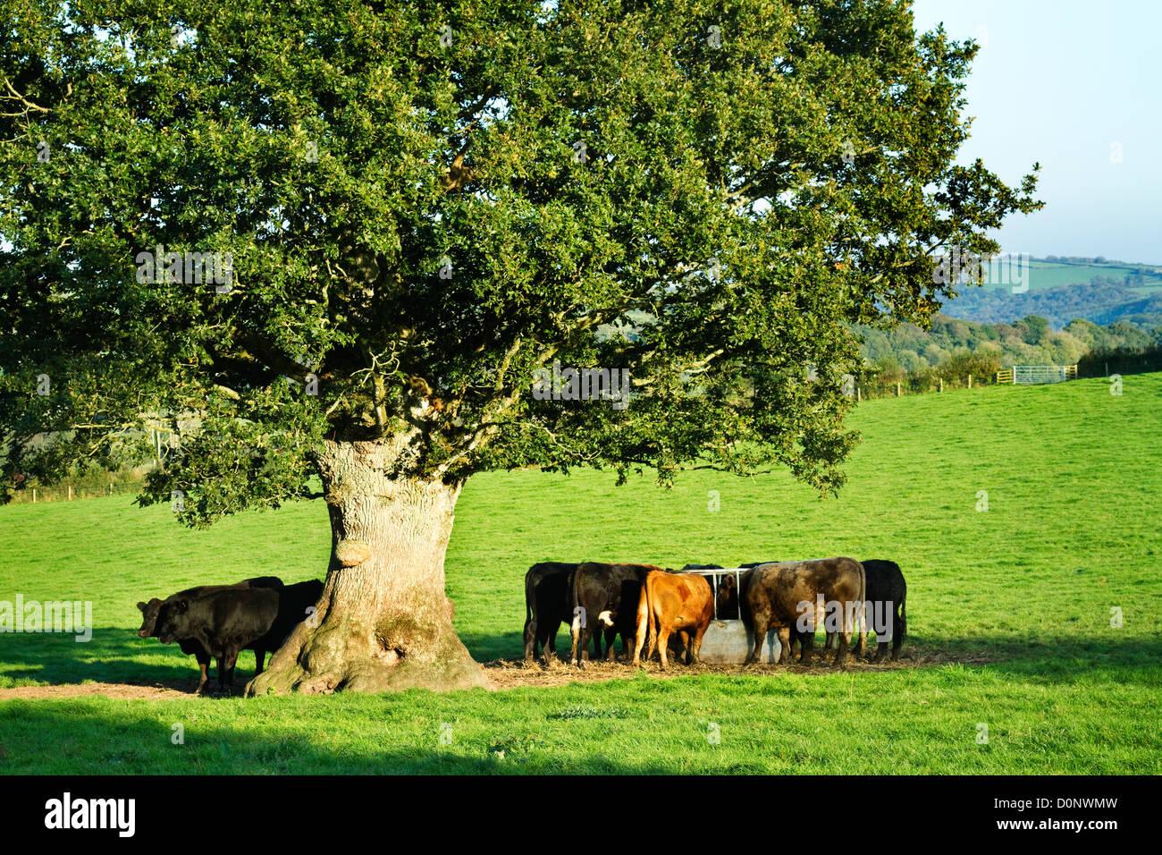 ^ Silage Feeding Stock Photos & Silage Feeding Stock Images - lamy