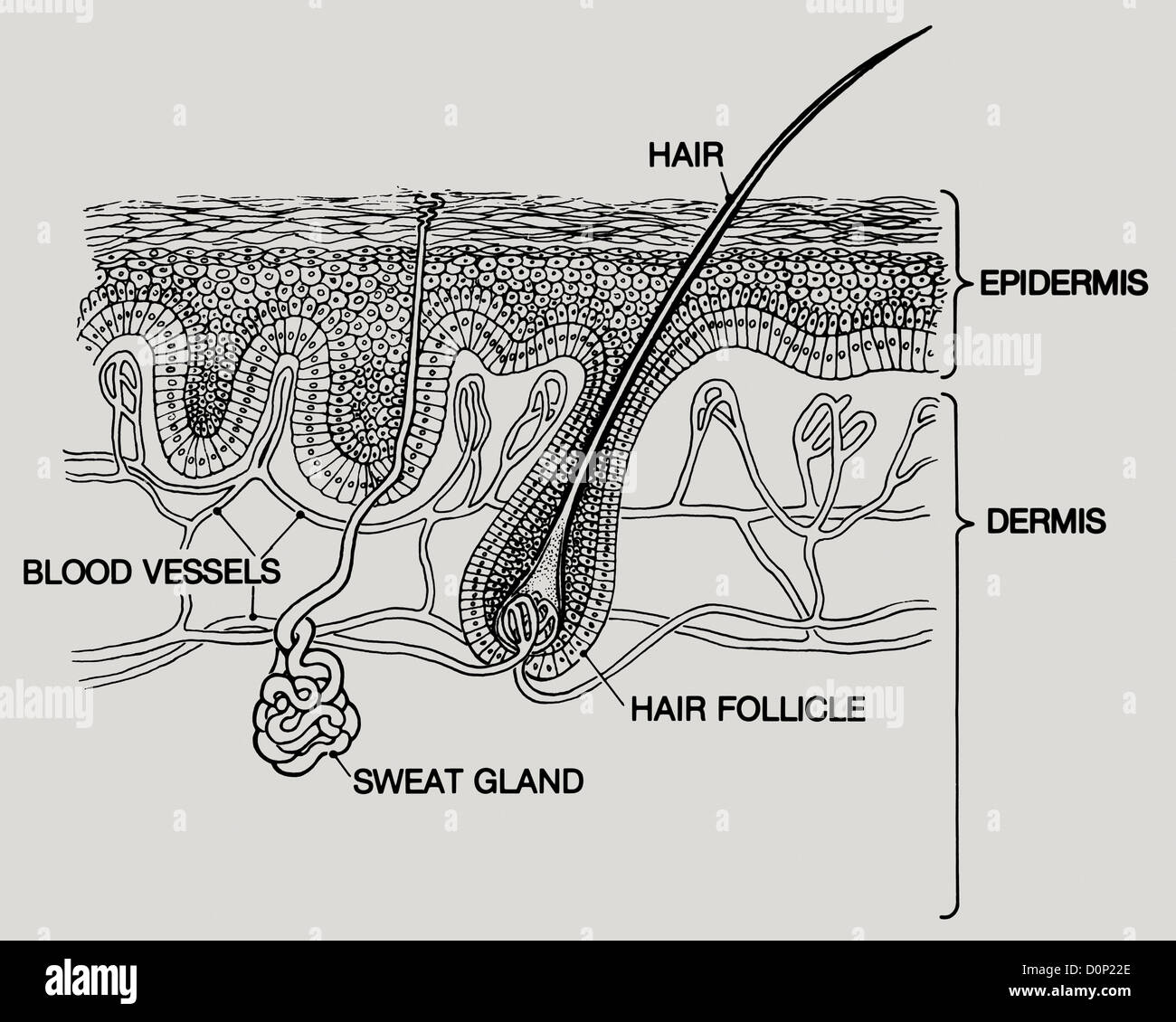 A diagram layers human skin two main layers are epidermis dermis a diagram layers human skin two main layers are epidermis dermis two are crossed sweat glands hair blood vessels run below pooptronica Image collections