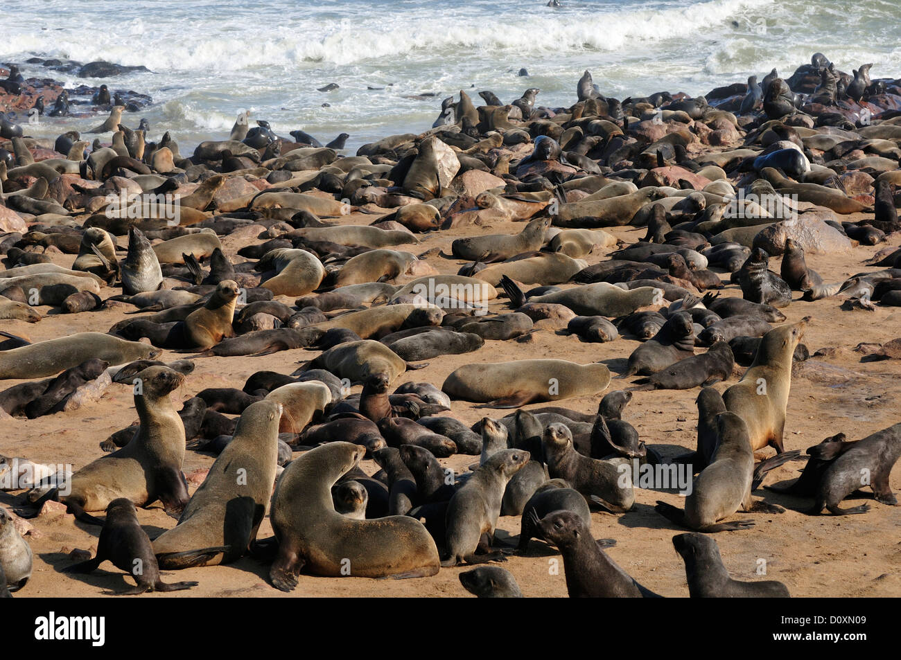 africa cape cross namibia seal colony seals animals skeleton stock photo royalty free. Black Bedroom Furniture Sets. Home Design Ideas