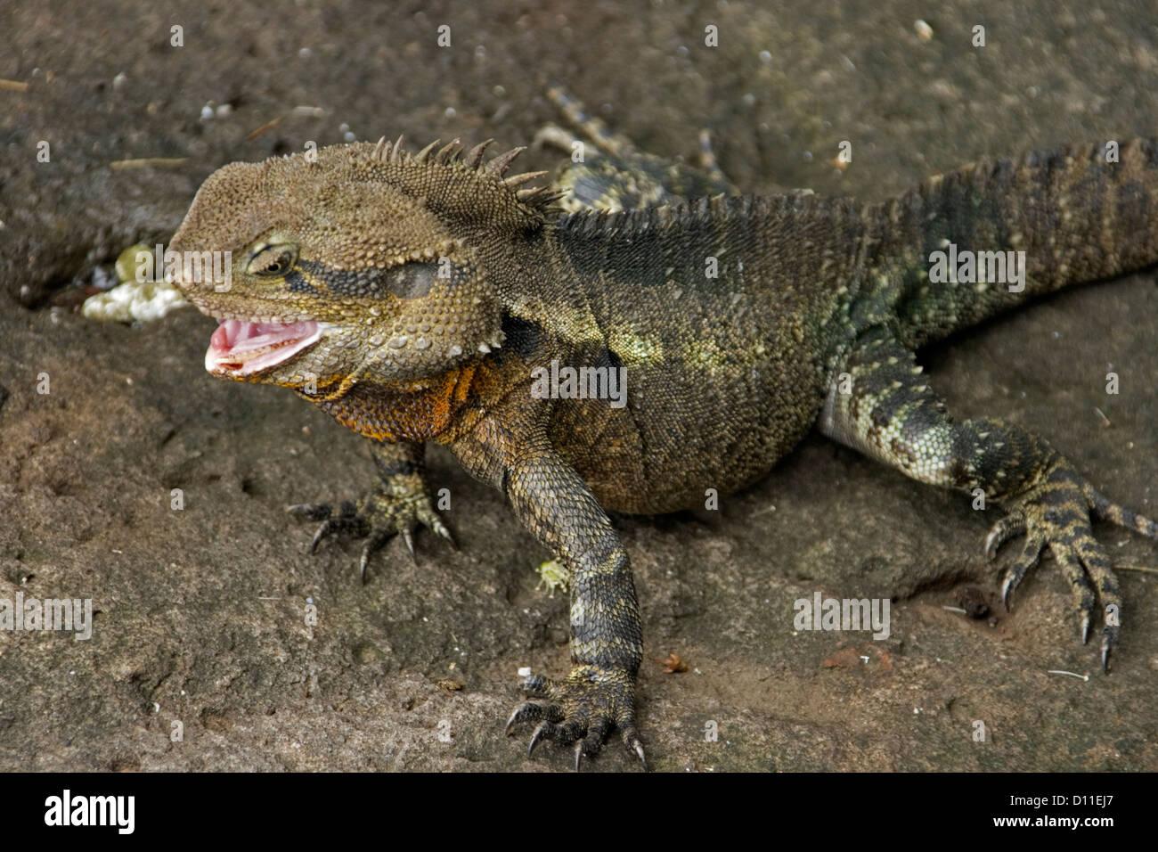 Australian Water Dragon Lizard: Physignathus Lesueurii