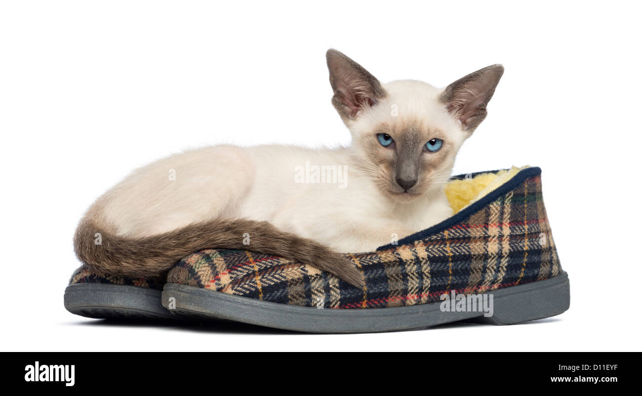 Oriental Shorthair kitten 9 weeks old lying on a pair of
