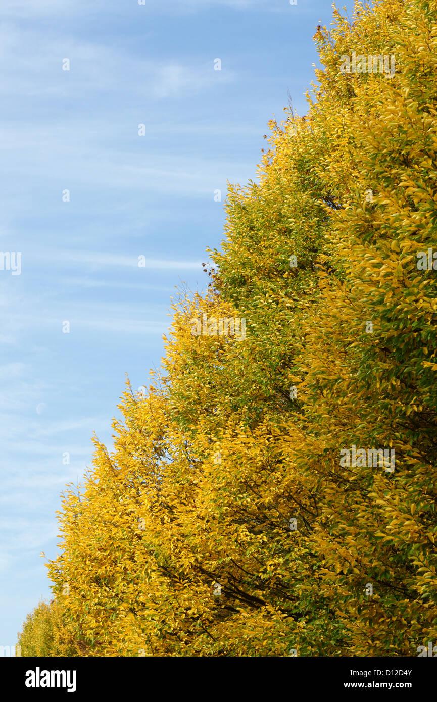 diagonal-autumn-tree-and-blue-sky-vancou