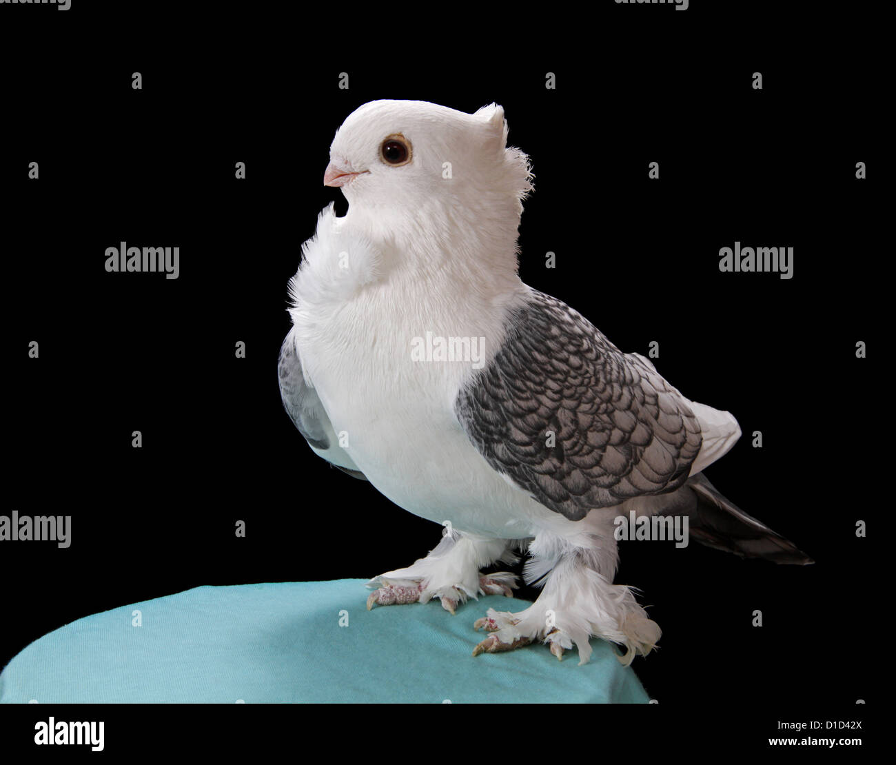 Classic Old Frill Fancy Pigeon On A Plain Black Background
