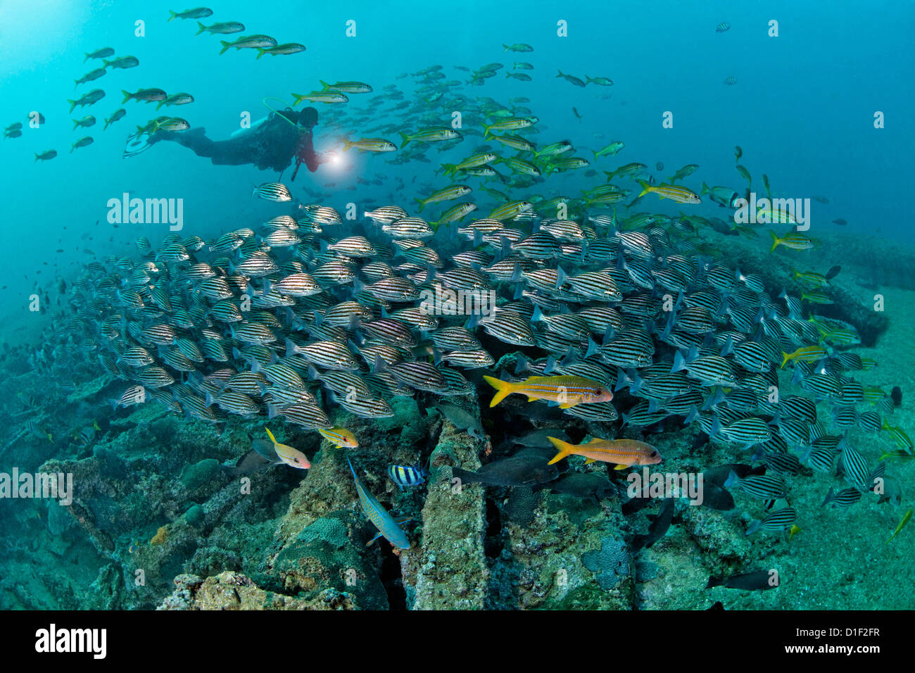 Diver with school of fish above ship wreck mirbat oman for How to ship fish